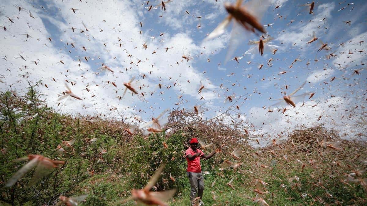 Growing Locust Swarms in Horn of Africa Threaten Food Security in MENA
