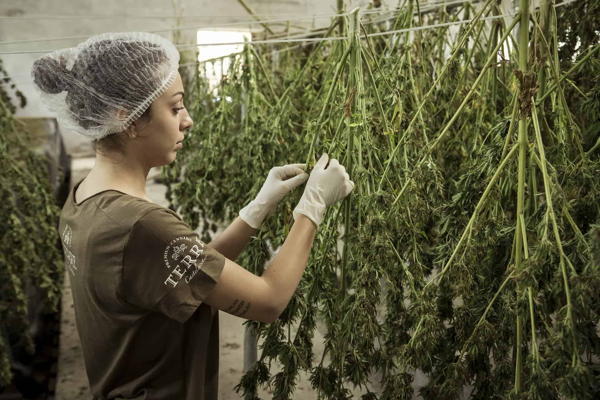 Cannabis Legalization: A Growing Trend in the MENA Region?